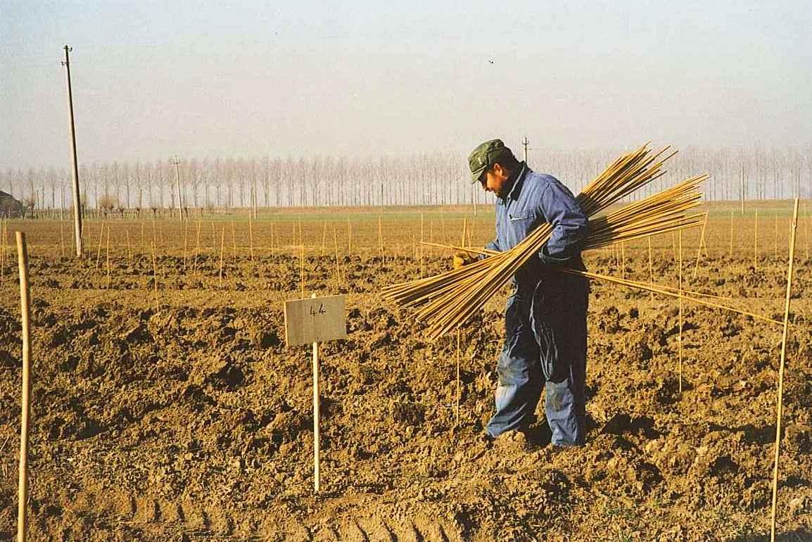 04-feb 1998 fasi piantagione- posa canne