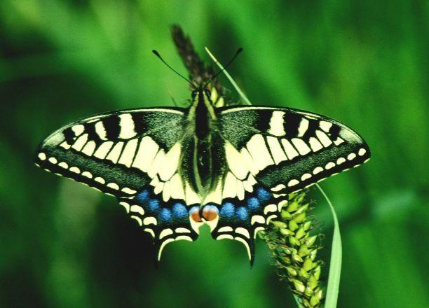 Immagini di farfalle del nostro territorio partecipanza - Immagini di farfalle a colori ...