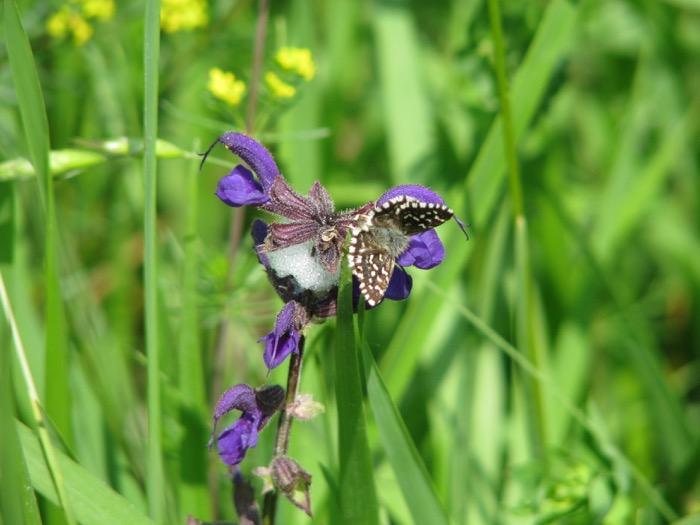 Salvia dei prati con farfalla