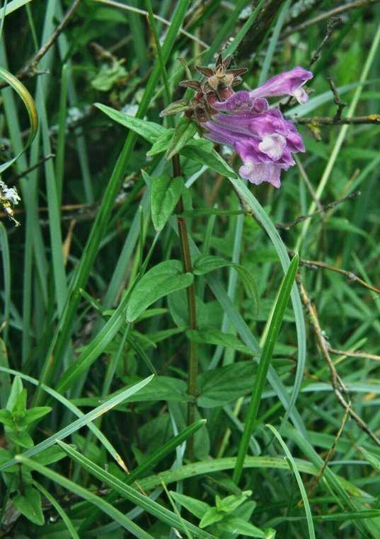 scutellaria_hastifolia