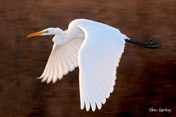 airone bianco maggiore - Egretta alba
