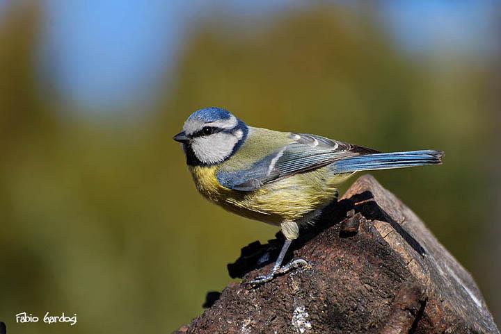 cinciarella - Parus caeruleus